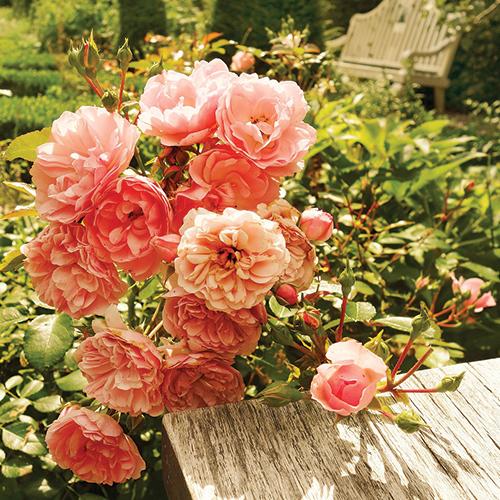 Rememberance rose bush
